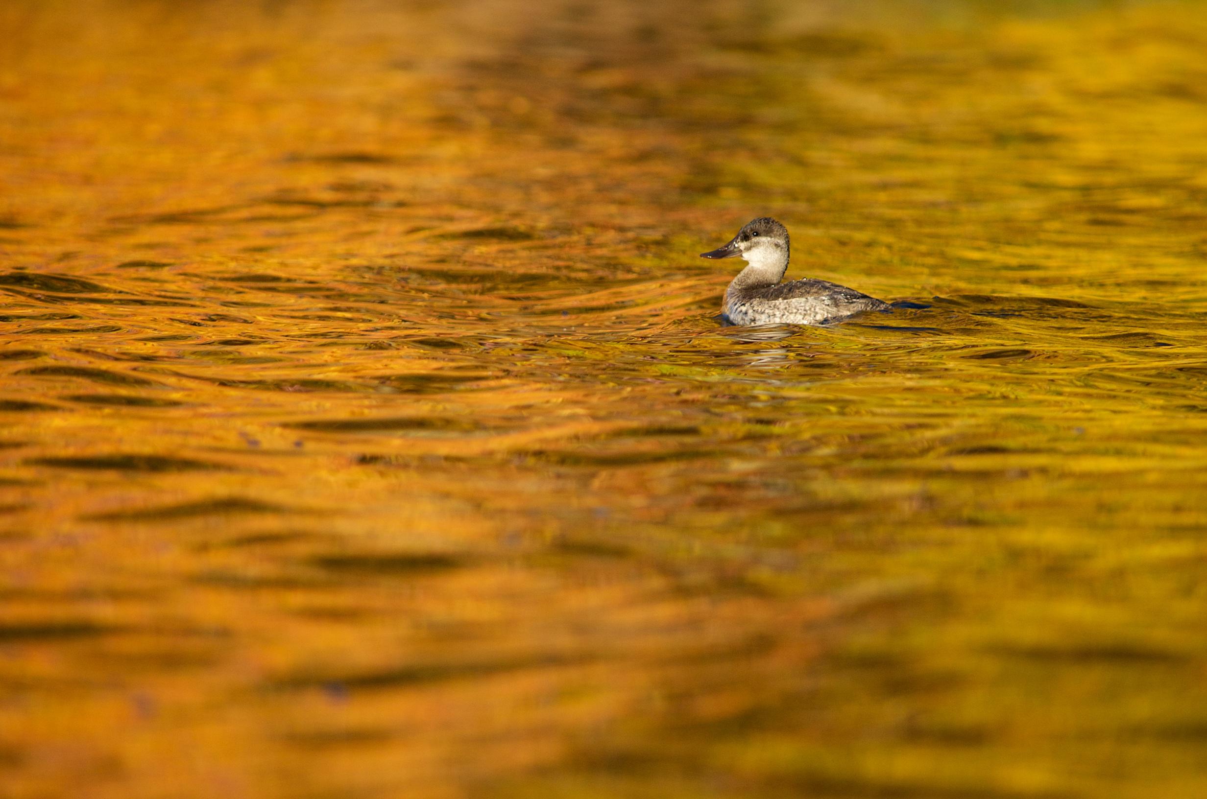 Ruddy Duck on Lake Truesdale